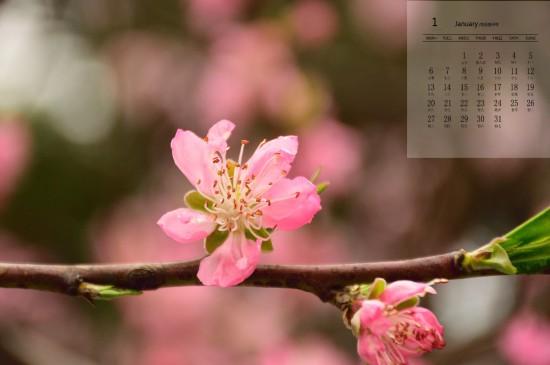 2020年1月唯美桃花圖片