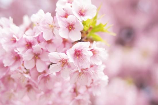 <唯美迷人的樱花风景桌面壁纸