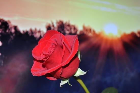 鲜艳唯美的红玫瑰桌面壁纸