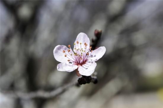 唯美浪漫樱花高清桌面壁