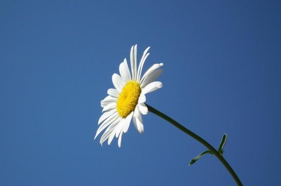 小雏菊清新花卉图片桌面壁纸