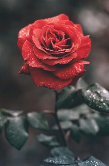 唯美艳丽的红玫瑰图片手机壁纸