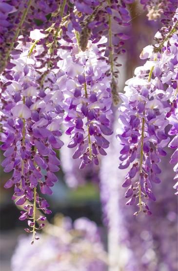 唯美紫色花卉圖片高清手