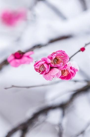 唯美雪梅花卉圖片高清手