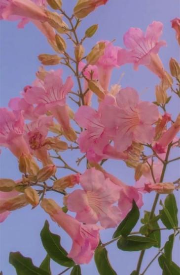 唯美粉色花卉圖片手機壁