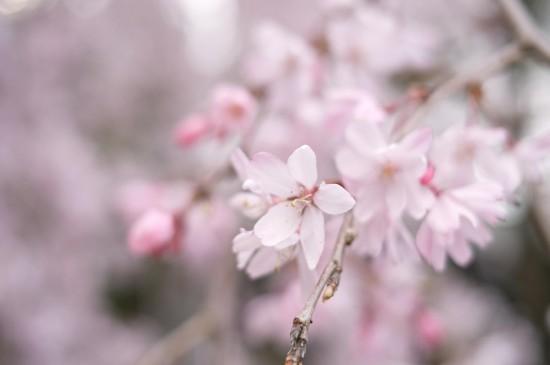 <精选唯美樱花风景图片桌面壁纸