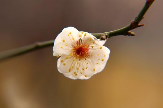 盛開的梅花高清桌面壁紙