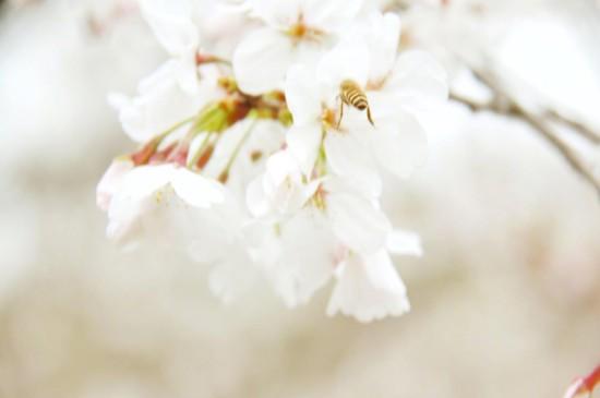 三月櫻花唯美高清桌面壁