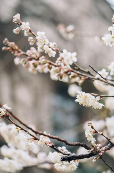 清新素雅白色花卉圖片手