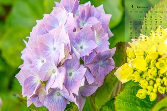 <2020年4月漂亮的绣球花唯美高清日历壁纸