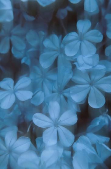 精選藍色小花圖片手機壁
