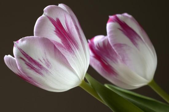 郁金香花卉唯美圖片桌面