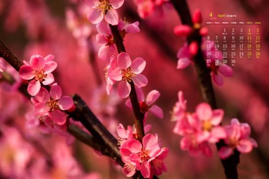 2020年4月火红的榆叶梅