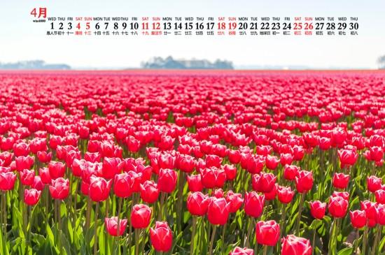 2020年4月唯美郁金香图片日历壁纸