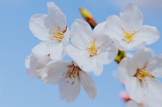 春光中的風景櫻花圖片桌面壁紙
