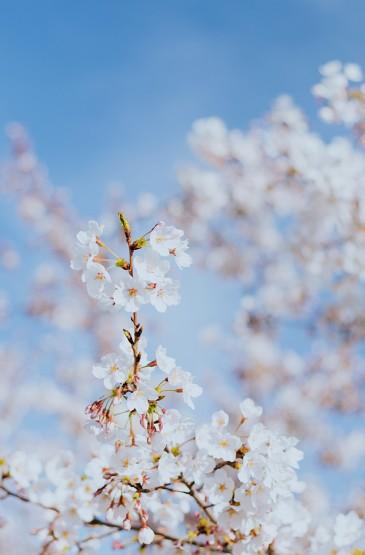 龙湖樱花风景手机壁纸