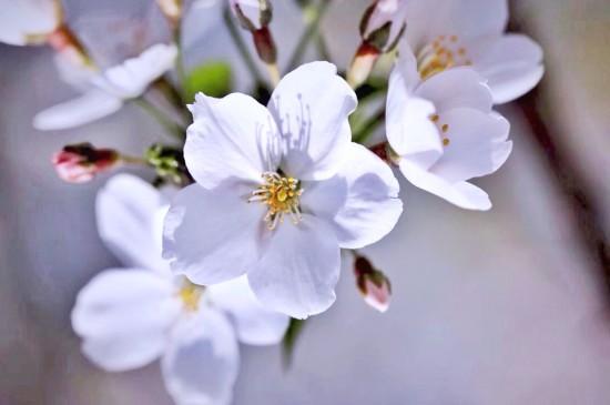 潔白櫻花唯美高清桌面壁紙