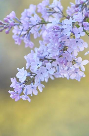 唯美紫色小花高清手机壁纸
