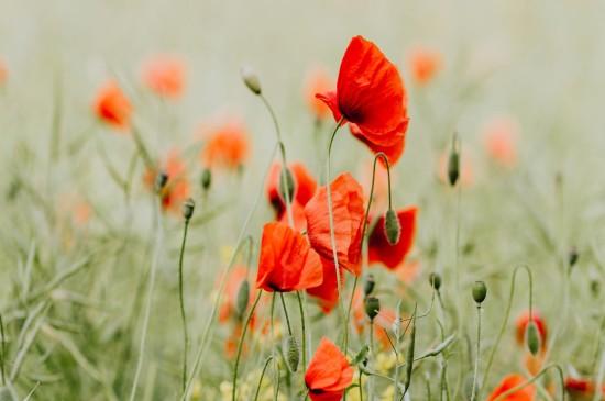 <唯美娇艳的罂粟花图片桌面壁纸