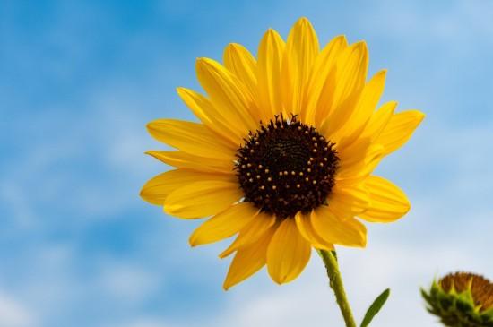 小清新向日葵圖片桌面壁