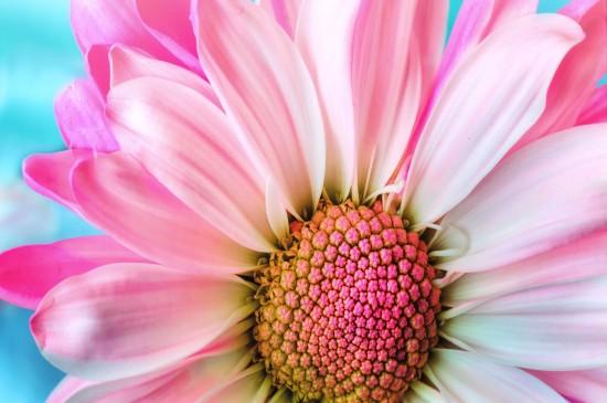 <精选唯美非洲菊花卉图片桌面壁纸