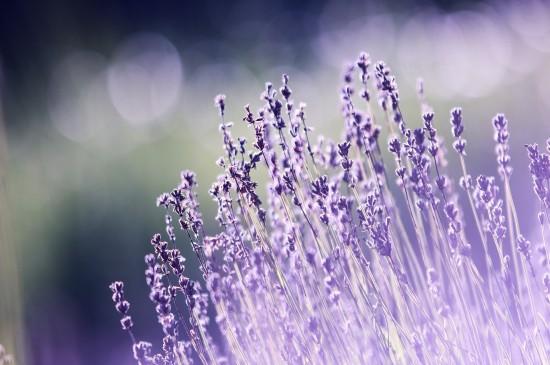 <唯美紫色花海风景图片桌面壁纸